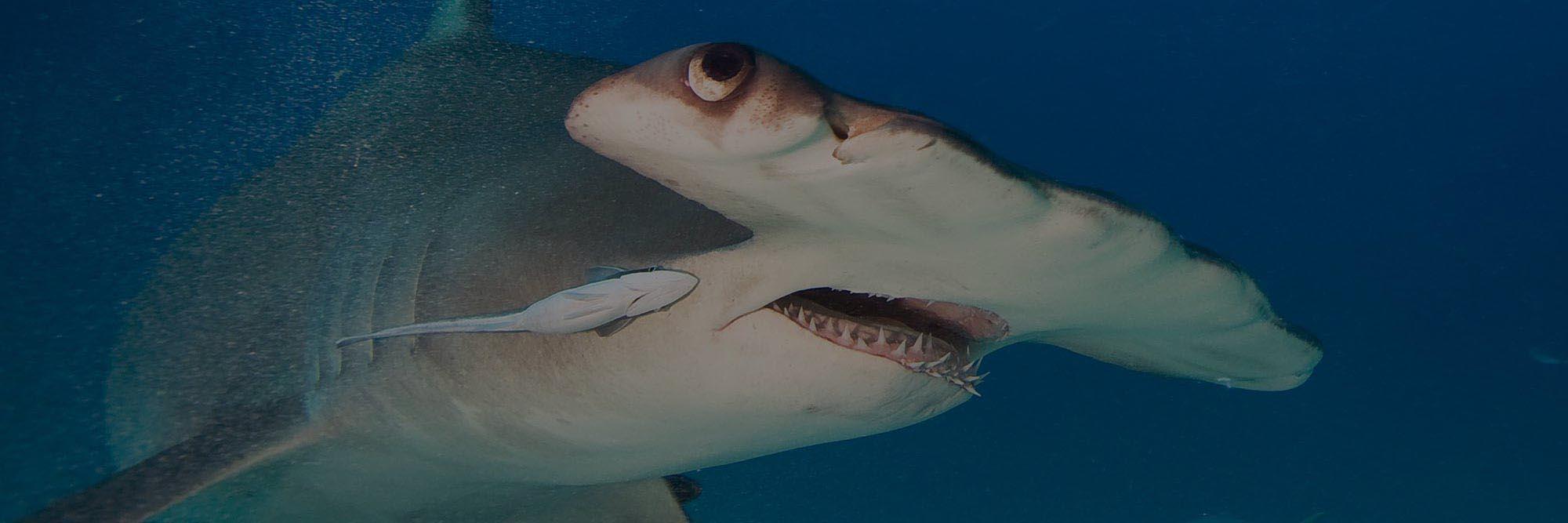 banner-Hammerhead-shark-3-1-dark