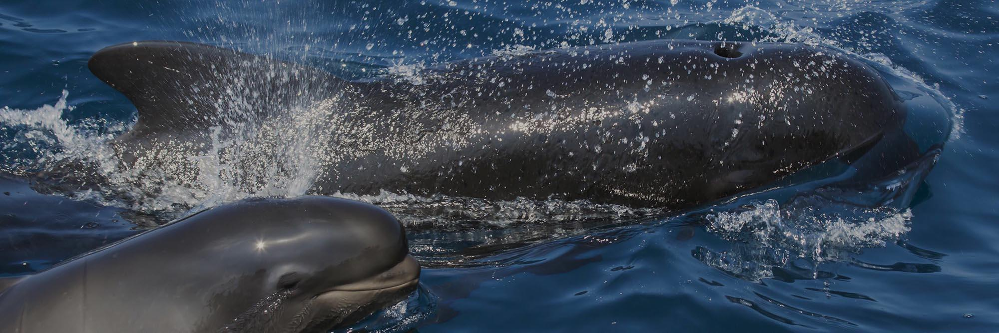 banner-Pilot-Whale-and-baby-3-1-dark