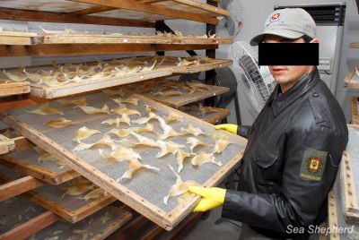 Brazilian Police exposing trays of dried shark fins