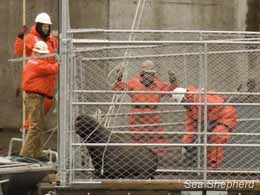 Sea Lions in a trap, potentially to be euthanized shortly after.