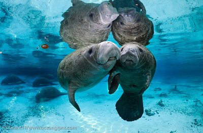Manatees in the wild