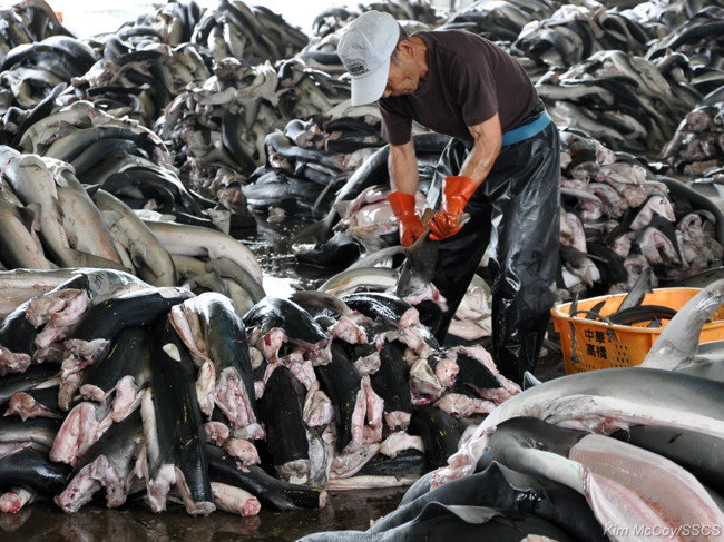 editorial-130618-1-2-Sea shepherd condemns slaughter-large