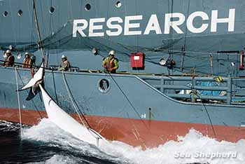Slaughtered Minke whale,  Japan now calls this 'Cultural Whaling'. photo: Glenn Lockitch