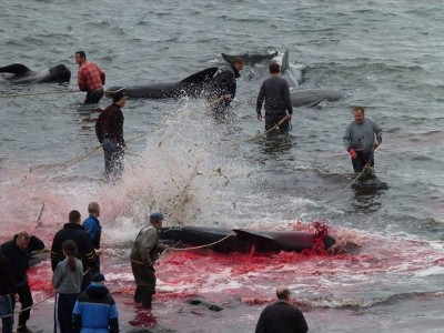 On August 13th, 135 long-finned pilot whales were brutally slaughtered in Húsavík.