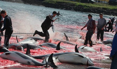 In Hvalba, the incredibly high number of 430 Atlantic White-sided dolphins were driven into 'whale bay' and brutally murdered.