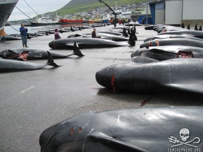 Dead Pilot Whales are lined up one after another and numbered after a Grind in The Faroe Islands.