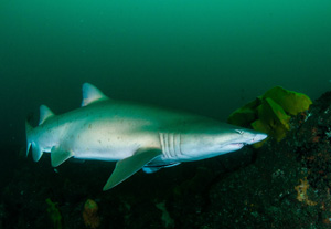 The beautiful and threatened Grey Nurse Shark
