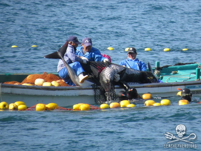 32 Pacific White-sided dolphins were captured in 2012 / 2013.  8 were killed and 24 went to live-capture.
