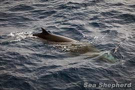 A Minke Whale who visited The Steve Irwin one week ago