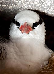 Red Billed Tropic Bird chick in nest