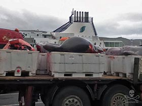 Bottlenose whale heads lined up after butchering