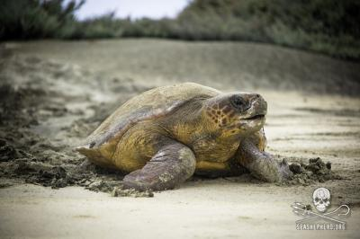 A loggerhead turlte heads back to the ocean after laying eggs