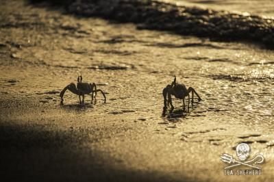 Ghost crabs hover in the surf