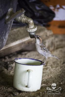 Cape Verde sparrow looks for water from a leaky tap