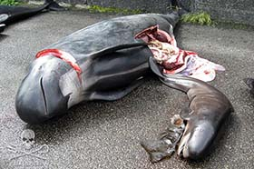 Killed Pilot whale mother and calf in 2010. Photo: Sea Shepherd