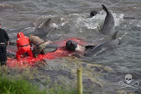 Pilot whales being killed in 2015. Photo: Sea Shepherd