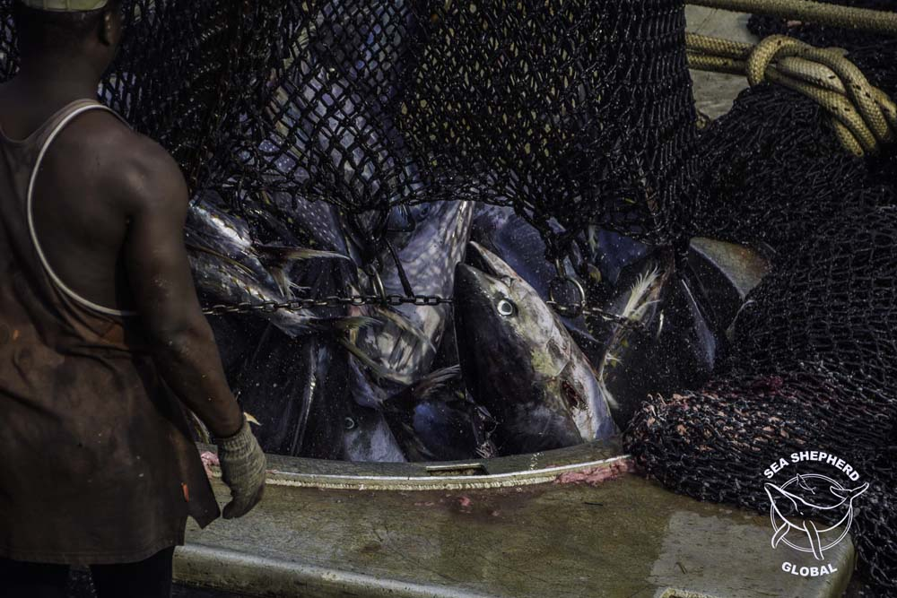 Yellowfin tuna dropped into the fish holds of an industrial purse seiner. Photo: Sea Shepherd Global / Alejandra Gimeno