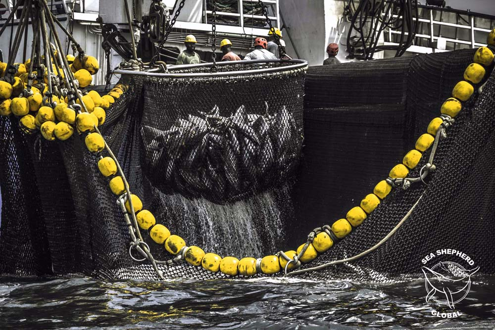 An industrial purse seiner fishing for tuna in West Africa. Photo: Sea Shepherd Global / Alejandra Gimeno