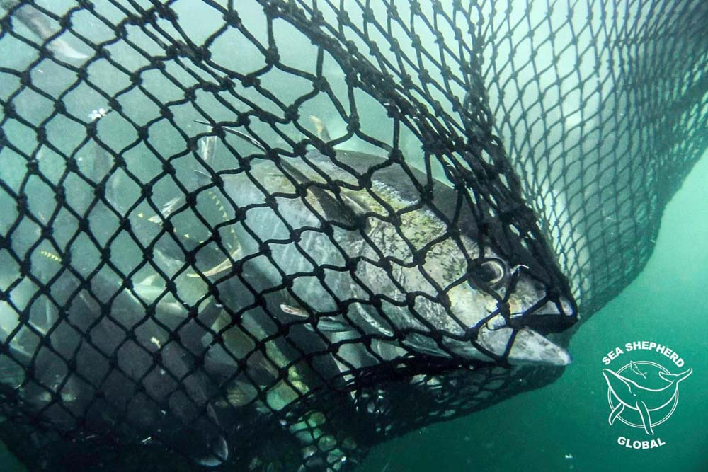 Yellowfin tuna caught in a purse seine net. Photo: Sea Shepherd Global / Simon Ager