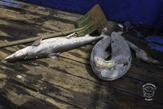 Sharks finned found finned on board. Photo: Alejandra Gimeno / Sea Shepherd Global