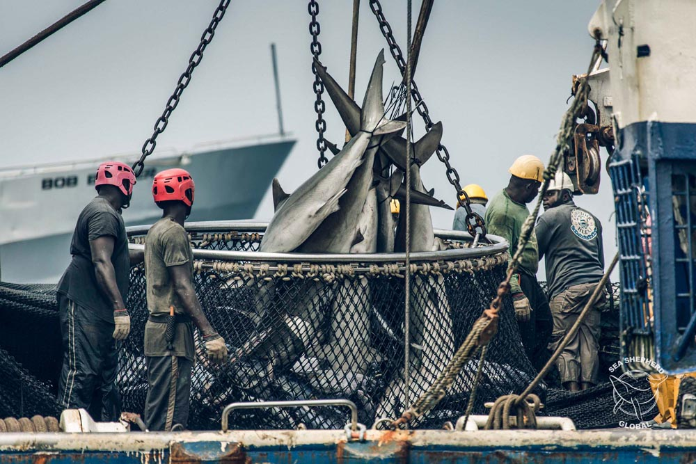 Dead sharks are hauled from the net of a purse seine fishing vessel. Credit: Sea Shepherd Global / Simon Ager