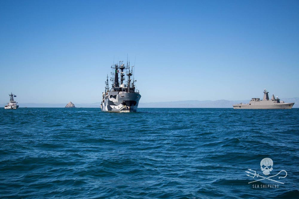 The M/Y Sam Simon and the M/V Farley Mowat supported by the Mexican navy in the Sea of Cortez. Credit: Sea Shepherd / Giacomo Giorgi