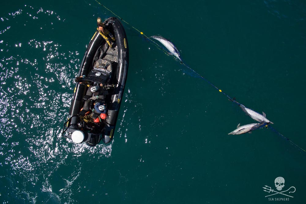 Dolphins caught in an illegal gillnet in the Sea of Cortez. Credit: Sea Shepherd / Thomas Le Coz
