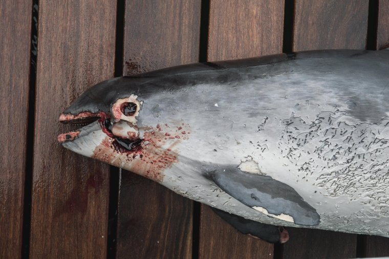 The injuries around this harbor porpoise's mouth may have been caused by a gillnet during the animal's fight for survival.