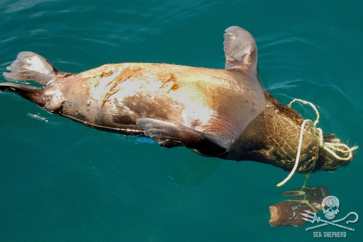 A sea lion strangled by fishing gear. Photo by Sea Shepherd.