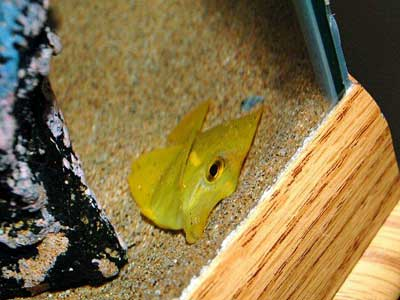 "This yellow tang died in a hotel ""seafood"" restaurant from terminal fin rot caused by dirty water"