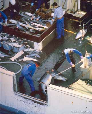 An illegal Taiwanese shark finning operation near Costa Rican waters
