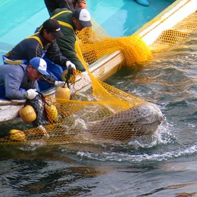 Pilot whale capture in Taiji Japan