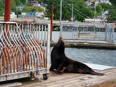 California sea lion amidst trapping devices at the Bonneville Dam