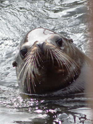 A California Sea Lion, much like Brian, who may be persecuted for his sole crime of eating fish