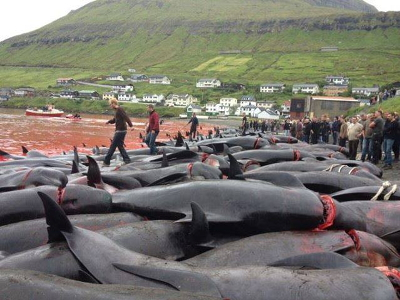 876 Pilot whales & 430 Atlantic white sided dolphins have been driven onto the beaches and massacred in the Faroe Islands between July 21st and September 22nd