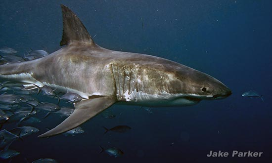 The Great White Shark is one of nature's most incredible creatures photo: Jake Parker