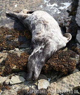 The dead grey seal found by a member of our team approximately 100 metres from the Scottish Wild Salmon Company marksman