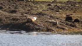 Some of the seals observed by our crew on the shore of the Burnt Islands (Kyle of Bute, Argyll, Scotland)