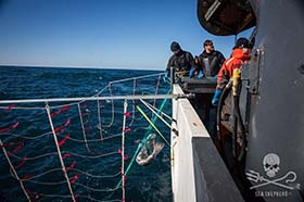 Sam Simon crew retrieve toothfish, killed after it was entangled in the gillnet.  Photo: Jeff Wirth