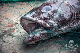 A toothfish – know as 'white gold' by poachers – caught in the illegal gillnet left by the Thunder. Photo: Jeff Wirth