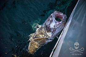 "A decaying toothfish, hauled from the ""monster"" net. Photo: Jeff Wirth"