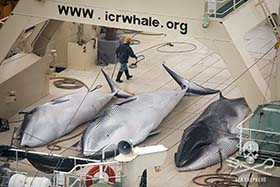 Three dead Minke whales on the bloodied decks of the Nisshin Maru, Jan. 5 2014. Photo: Tim Watters