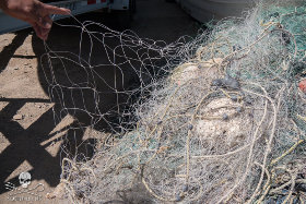 Vaquitas are drowning in gill nets used by poachers and fisherman to catch the prized totoaba fish, which goes for $8,500 a kilogram on the black market and is shipped to China for use in soup.