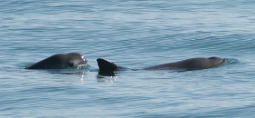 Two vaquitas. The vaquita is a critically endangered porpoise species endemic to the northern part of the Gulf of California