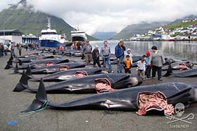 Slaughtered pilot whales line the docs in the bloody aftermath of a grind. Photo: Peter Hammarstedt