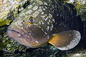 An endangered Dusky Grouper, targeted by poachers in Siracusa. Photo: Antonio Drosi