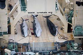 Three dead, protected Minke Whales on the  deck of the Nisshin Maru, slaughtered under Japan's illegal whaling program JARPA II. Photo: Tim Watters
