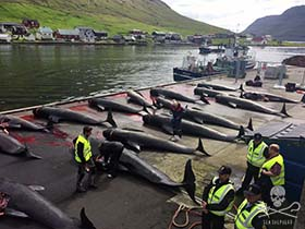 The aftermath. 20-30 pilot whales, brutally slaughtered in the Faroe Islands this morning. Photo: Rosie Kunneke