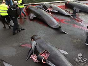 Another bloody slaughter in the name of tradition in the Faroe Islands. Photo: Rosie Kunneke