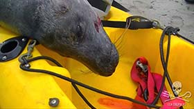 Seal named 'Kuiper' shot dead